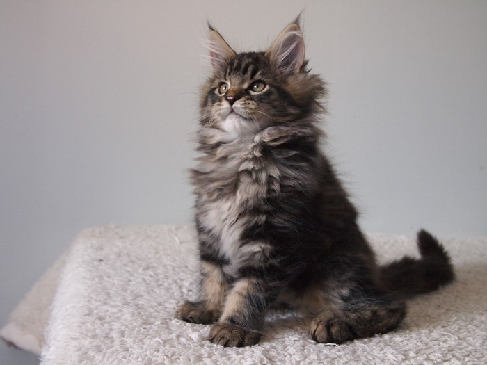 4 BROWN BLOTCHED TABBY