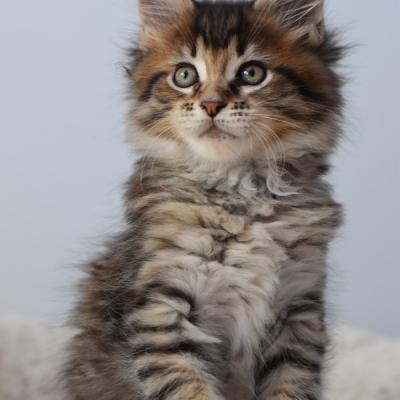 5 BROWN SPOTTED TABBY